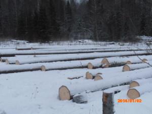 хлысты древесины зимой